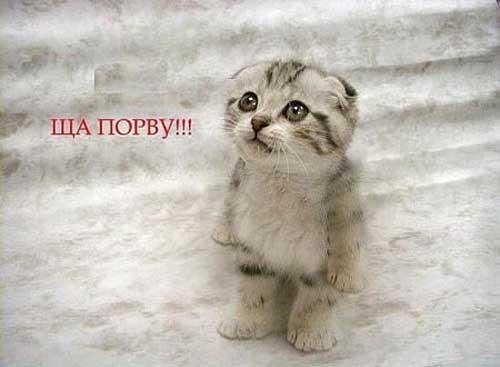 Табби (тэбби) окрас британской кошки - Окрасы