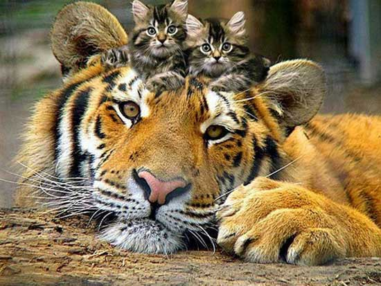 Прикольные картинки тигров