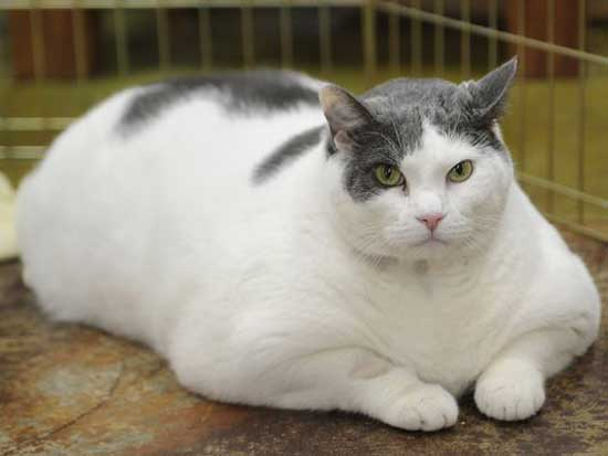 Толстые коты - фото