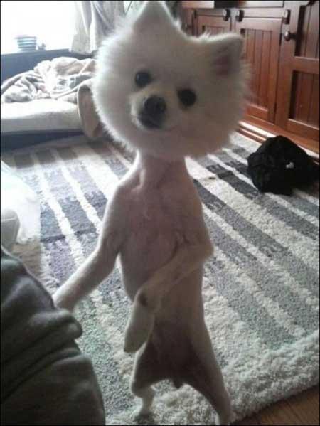 Смешные стрижки собак - фото
